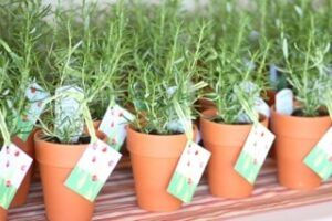Guest Favours at Tina's wedding.  Rosemary plants are a symbol of long lasting love.